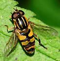 Syrphid Flies Helophilus fasciatus Male - Helophilus fasciatus - male