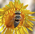 Coelioxys maybe? - Coelioxys