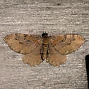 Barberry Geometer - Coryphista meadii