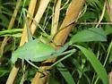 Katydid - Amblycorypha - female