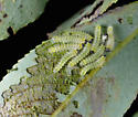 Poplar Sawfly - Trichiocampus grandis