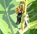 Panorpidae sp  - Panorpa