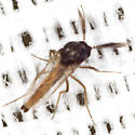 Biting Midge - Forcipomyia - male