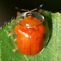 Tortoise Beetle - Charidotella