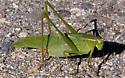 Fork-tailed Bush Katydid - Scudderia furcata - female