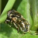 Large Spot-eyed Dronefly - Eristalinus aeneus