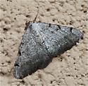 Dark Triangular Moth - Digrammia triviata