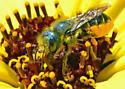 Is this Megachile fidelis? - Osmia coloradensis - female