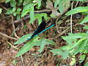 Elbony Jewelwing Damselfly - Calopteryx maculata - male