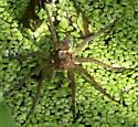 Fishing Spider ? - Dolomedes