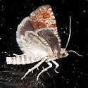 Wenzel'sPitch-blisterMoth-Hodges#2891(Retiniawenzeli)? - Retinia albicapitana