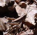 grasshopper - Dichromorpha viridis - male