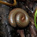 Narceus americanus - Narceus americanus-annularis-complex