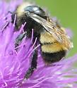 Bumble Bee Bombus auricomus or pensylvanicus - Bombus