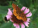 Meadow Fritillary - Boloria bellona