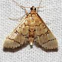 Hollow-spotted Blepharomastix Moth - Blepharomastix ranalis
