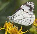 Pine White - Neophasia menapia - male