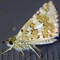 Butterfly at porch light - Pyrgus communis
