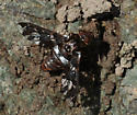 Unknown Bee Fly - Exoprosopa caliptera