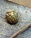 White Oak gall Acraspis sp? - Acraspis pezomachoides