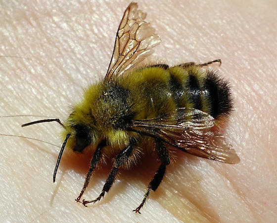 Bee from Oregon - Bombus - female