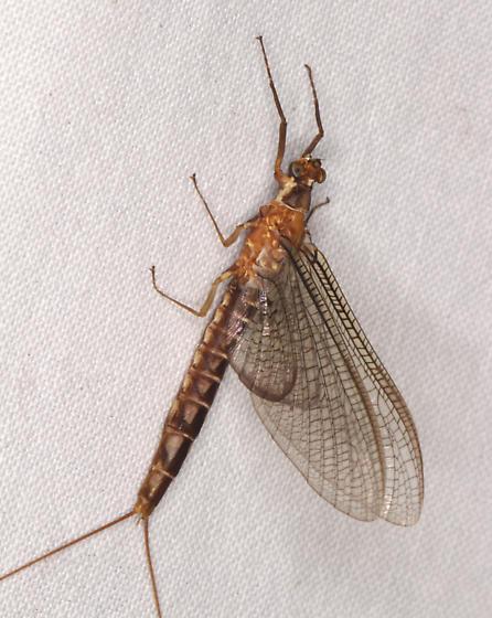 Ephemeridae (Common Burrower Mayfly), perhaps Hexagenia atrocaudata