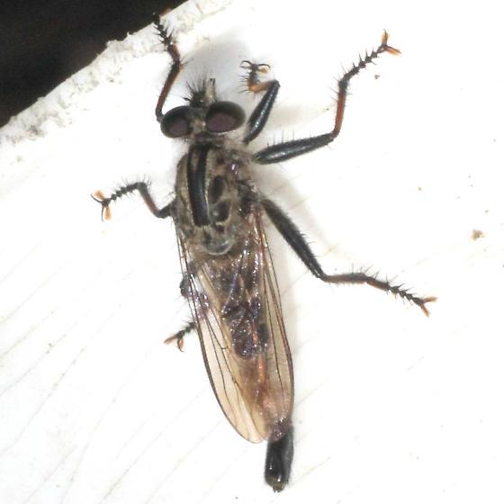 Robber Fly - Dorsal - Efferia aestuans - male