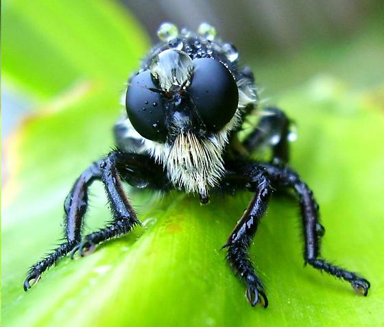 Bee killer - Mallophora bomboides