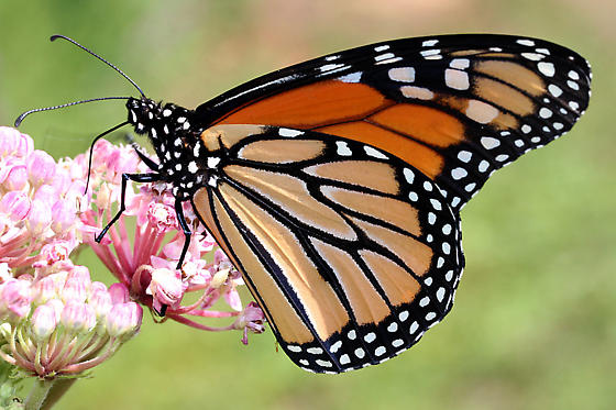 Orange Butterfly - Danaus plexippus