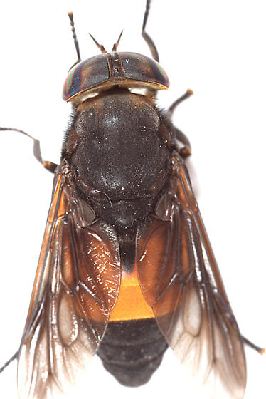 Horse Fly - Hybomitra cincta