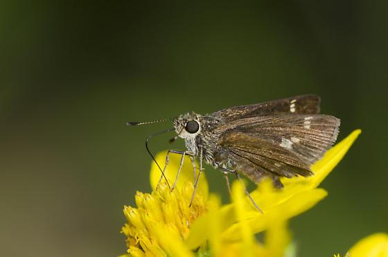 Little Glassywing - Pompeius verna - female
