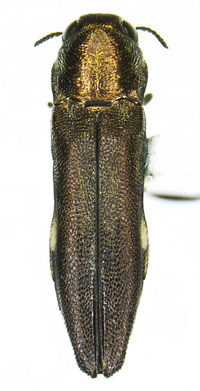 Agrilus eleanorae Fisher - Agrilus eleanorae - male