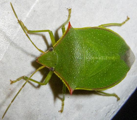 Loxa flavicollis