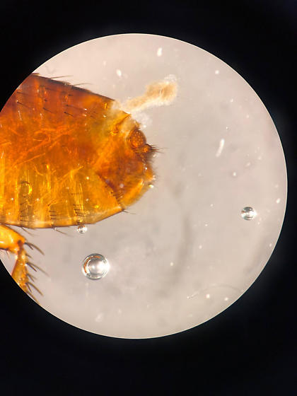help with Flea id and host preference