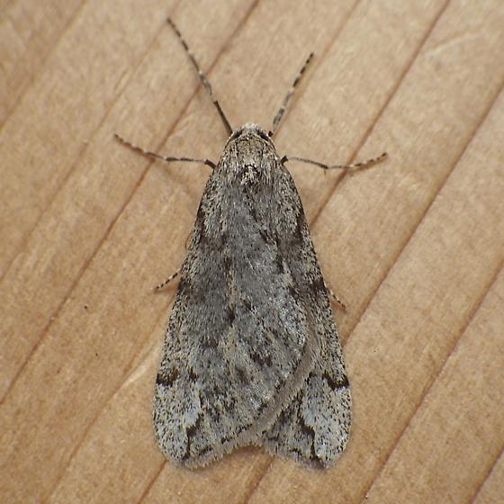 Geometridae: Paleacrita vernata - Paleacrita vernata