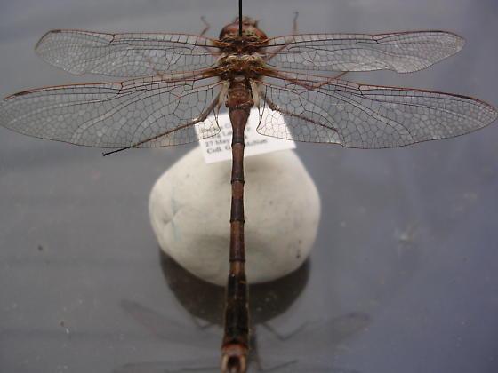 Somatochlora sp? - Didymops transversa - male