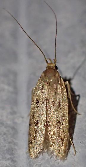 Hofmannophila pseudospretella? - Hofmannophila pseudospretella