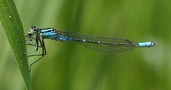 Prairie Bluet - Coenagrion angulatum - male