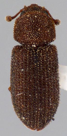 Beetle - Synchita fuliginosa