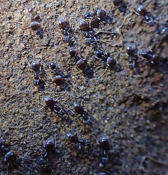 Small dark ants under rock