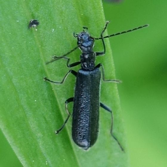Dichelotarsus piniphilus Eschscholtz - Dichelotarsus piniphilus