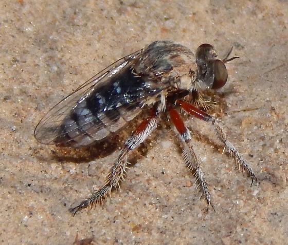 Asilidae? - Hodophylax aridus