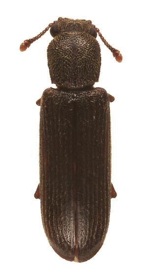 unknown beetle - Lyctus carbonarius