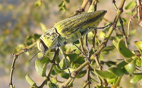 Gyascutus planicosta - male