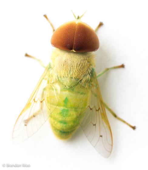 Chlorotabanus crepuscularis - male