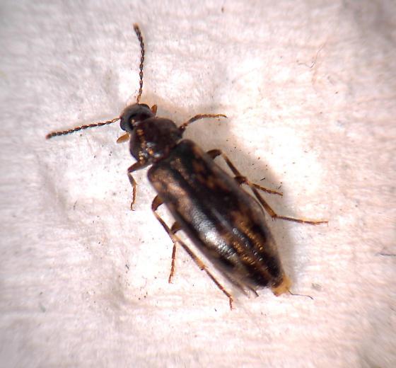 Beetle  - Prothalpia holmbergi