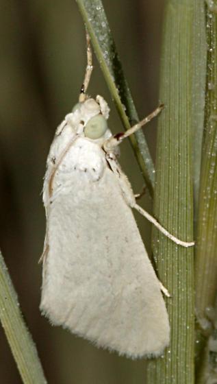 White Moth - Cylindrifrons succandidalis
