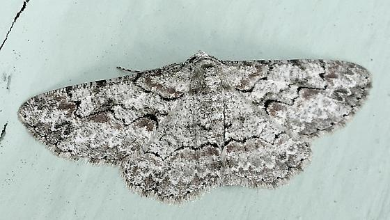 Please help us to identify this moth. - Iridopsis defectaria
