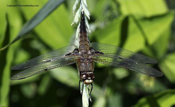 Whiteface - Libellula quadrimaculata