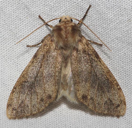 Brown speckled Moth - Hypocrisias minima